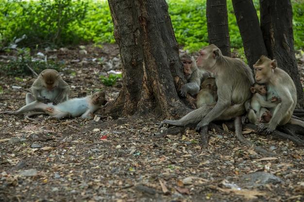 Długie ogoniaste makaki w miastowym lesie, ratchaburi, tajlandia (macaca fascicularis)