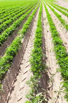 Długie rzędy marchwi rosnącej w rowkach na polu uprawnym, perspektywiczne zbliżenie roślin przeznaczonych na żywność