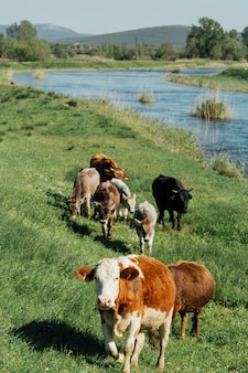 Długie strzały krowy jedzą trawę nad jeziorem