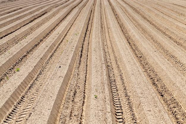 Długie suche bruzdy z ziemniakami późną wiosną, zbliżenie