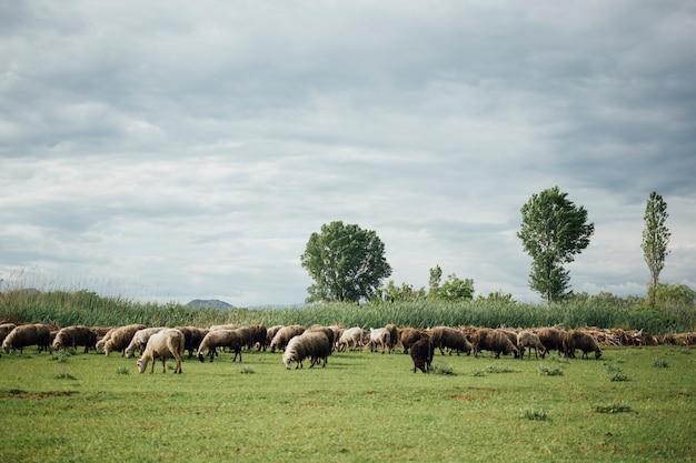 Długie ujęcie stada owiec jedzących trawę na pastwisku