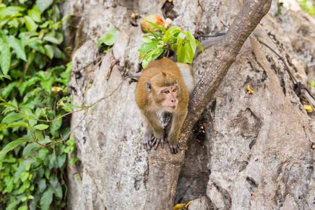Długoogonkowa makak małpa w lesie