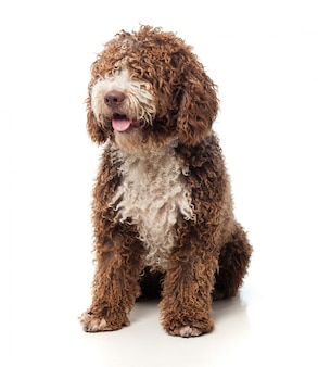 Długowłosa brązowy pies siedzi z wywieszonym językiem