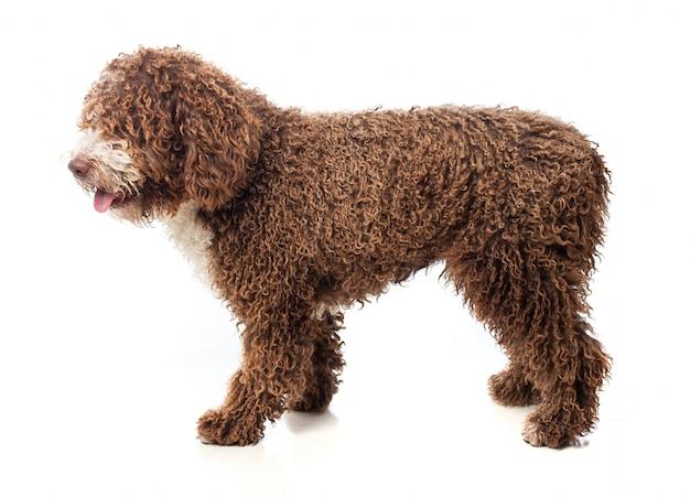 Długowłosy brązowy pies spaceru z wywieszonym językiem