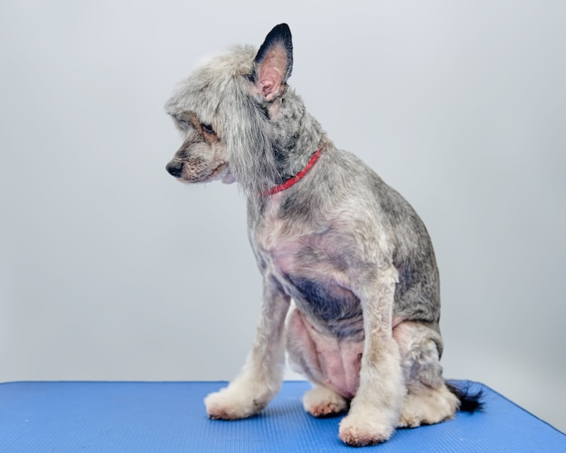 Długowłosy chiński grzywacz na stole do pielęgnacji po strzyżeniu w salonie dla zwierząt.