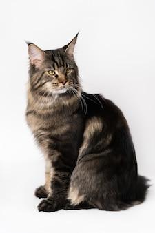 Długowłosy kot rasa amerykański kot leśny portret makreli pręgowany mężczyzna maine coon kot siedzący