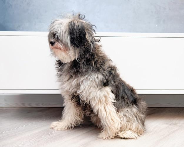 Długowłosy przerośnięty grzywacz chiński przed strzyżeniem w salonie dla zwierząt.
