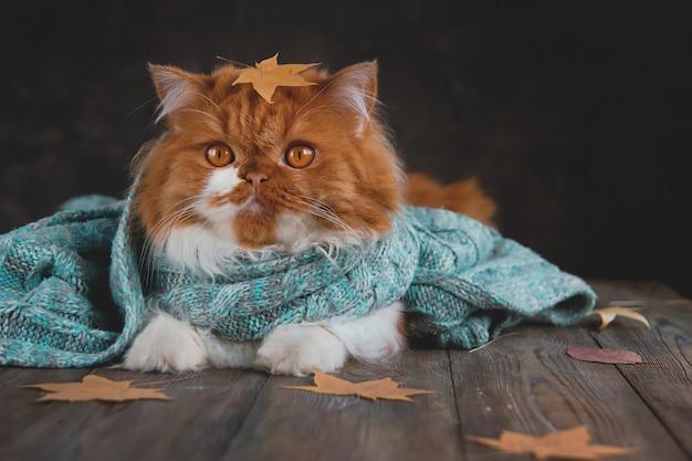 Długowłosy rudy kot w niebieskim szaliku z dzianiny w otoczeniu suchych jesiennych liści.