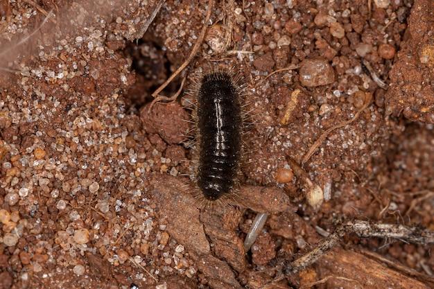 Długozłączka larwa chrząszcza z gatunku lagria villosa