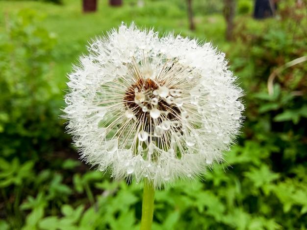 Dmuchawiec po deszczu. przezroczyste krople wody na kwiat makro nasion mniszka lekarskiego. woda gazowana kropelki. jasna ściana kwiatowa. niesamowity, zaskakujący kolorowy obraz natury.