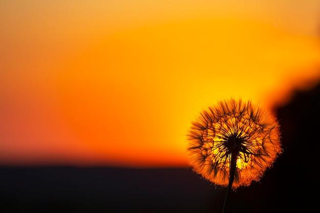 Dmuchawiec sylwetki na tle nieba słońca. natura i botanika kwiatów
