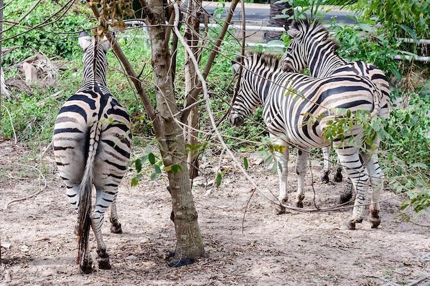Dno zebry w naturze