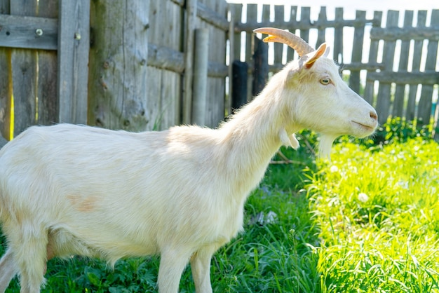 Do drewnianej bramy wchodzi koza. zwierzęta w gospodarstwie.