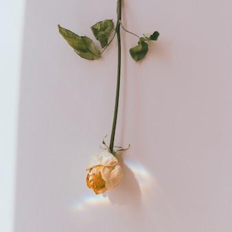 Do góry nogami biała róża na ścianie