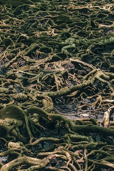 Do przylegania wykorzystuje się wiele korzeni drzew w lesie namorzynowym.