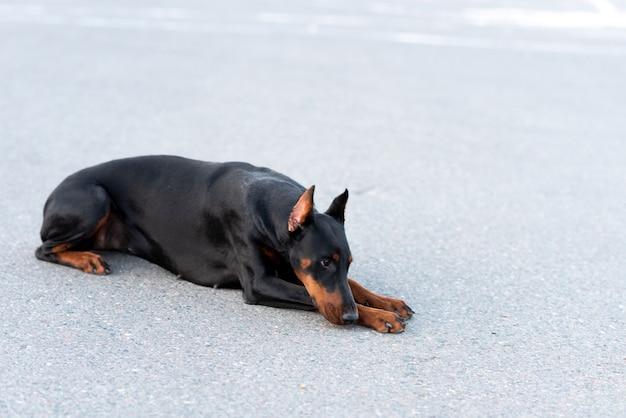 Doberman pinczer leży na asfaltowej drodze. zdjęcie wysokiej jakości