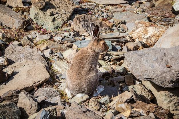 Dobrze odżywiony zając szarak siedzi na skałach na wolności. zając górski (lepus timidus) w naturalnym środowisku. dziki zając.