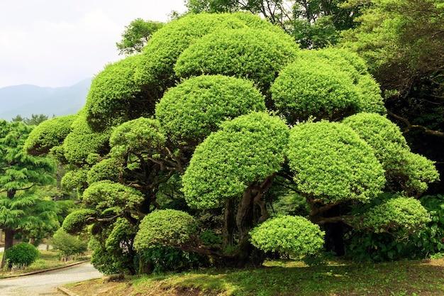 Dobrze przycięty i ułożony zielony krzew w japońskim ogrodzie