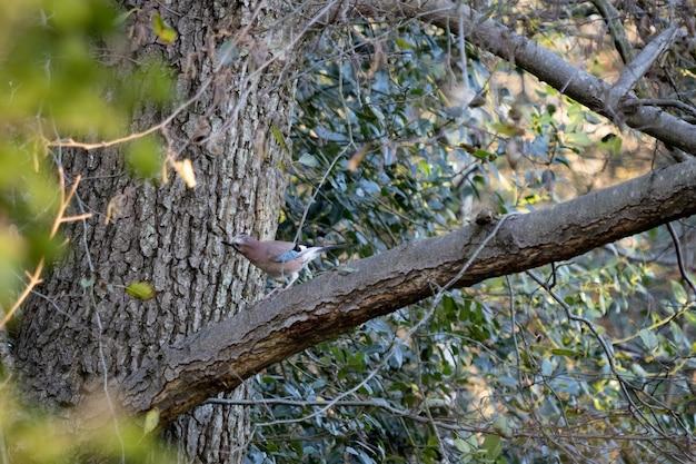 Dociekliwy i czujny sójka zwyczajna (garrulus glandarius) siedząca na drzewie