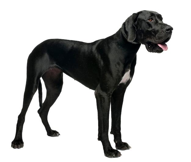 Dog niemiecki, 15 miesięcy. portret psa na białym tle