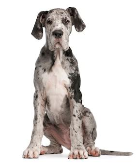 Dog niemiecki, 3 miesiące. portret psa na białym tle