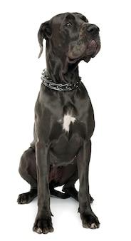 Dog niemiecki, 5 lat. portret psa na białym tle
