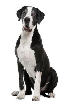 Dog niemiecki, 7 lat. portret psa na białym tle