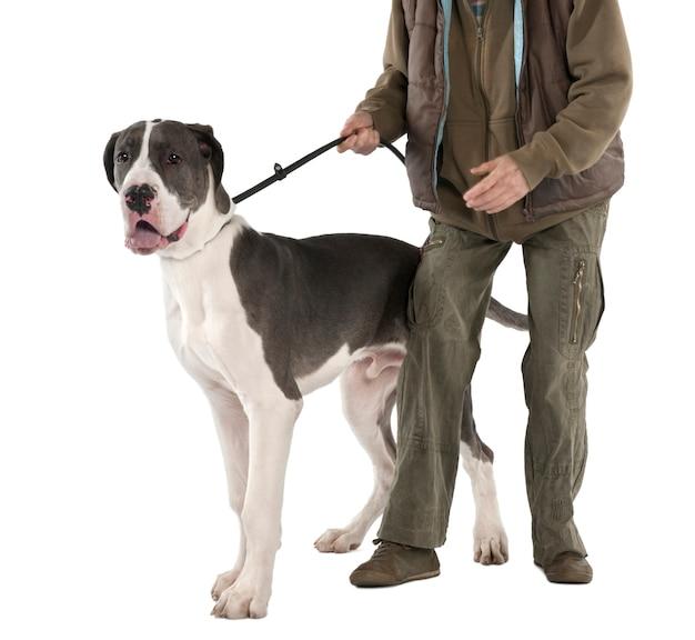 Dog niemiecki na smyczy