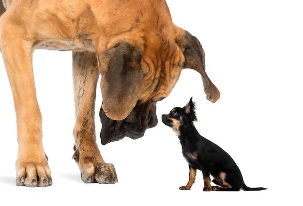 Dog niemiecki patrząc na posiedzenia chihuahua