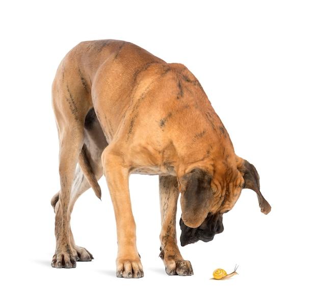 Dog niemiecki patrząc na ślimaka, na białym tle
