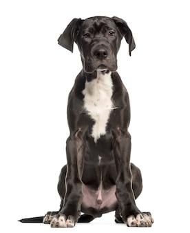 Dog niemiecki, siedzi i stoi, na białym tle