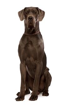 Dog niemiecki siedzi, studio strzał