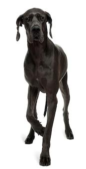 Dog niemiecki w wieku 15 miesięcy. portret psa na białym tle