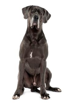 Dog niemiecki