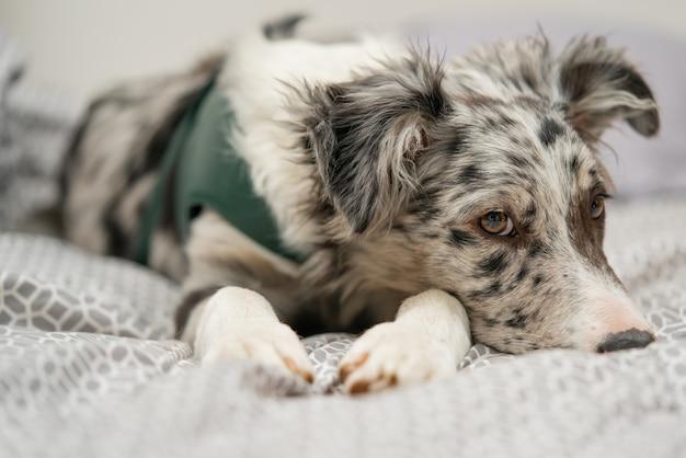 Dog puppy border collie merle