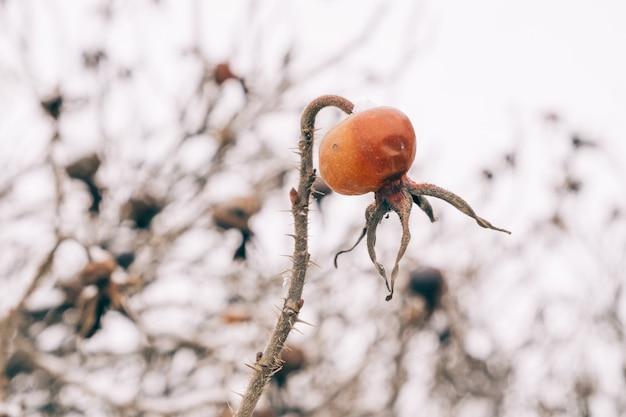 Dogrose pokryte śniegiem w lesie zimą