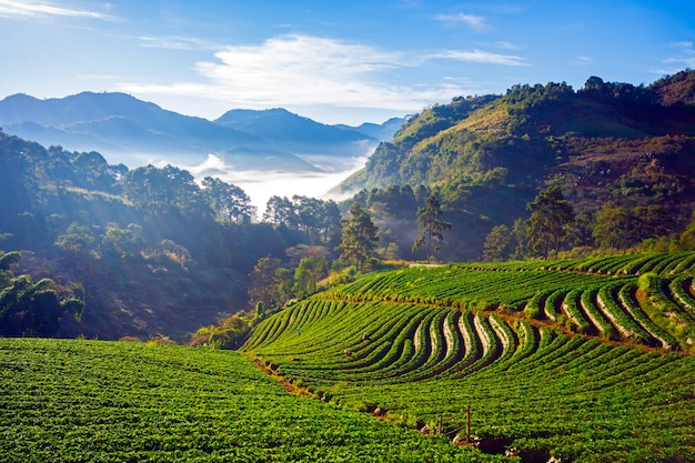 Doi ang khang krajobraz truskawka ogród z wschodem słońca przy doi ang khang, chiang mai, tajlandia