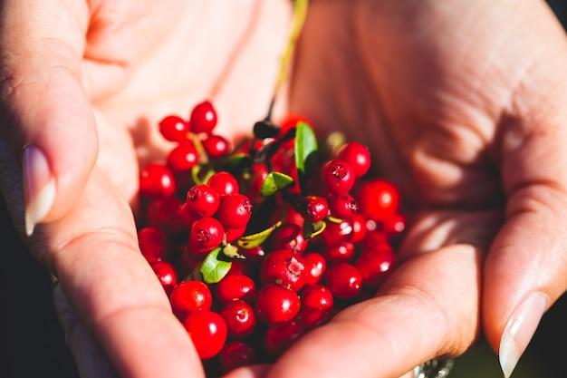 Dojrzała borówka brusznica w dłoni kobiety. zbieraj dzikie jagody w górach