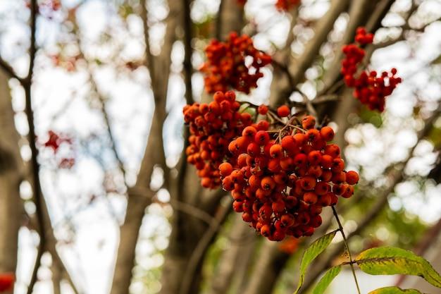 Dojrzała jarzębina czerwona wisi na gałęzi