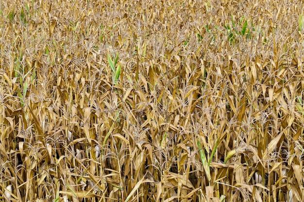 Dojrzała kukurydza, jesień - pole rolnicze z dojrzałą pożółkłą kukurydzą, zbliżenie, naturalna żywność