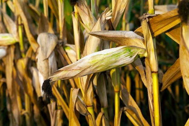 Dojrzała kukurydza, jesień - pole uprawne z dojrzałą pożółkłą kukurydzą, z bliska, naturalna żywność