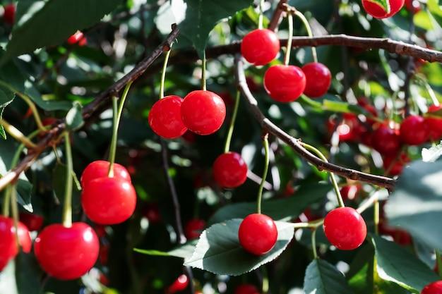 Dojrzała wiśnia na drzewie. zbioru jagód w lecie. naturalna żywność, eko-gospodarstwo. soczyste letnie tło.