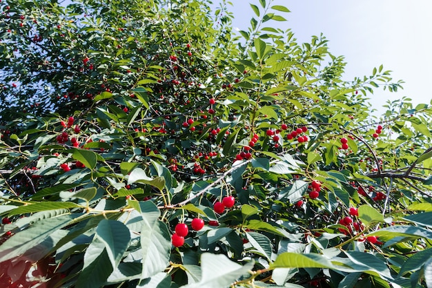 Dojrzała wiśnia na drzewie. zbioru jagód w lecie. naturalna żywność, eko-gospodarstwo.