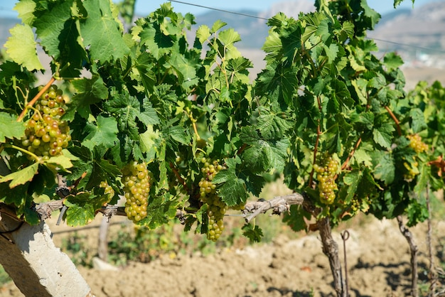 Dojrzałe białe winogrona w winnicy w promieniach jasnego słońca