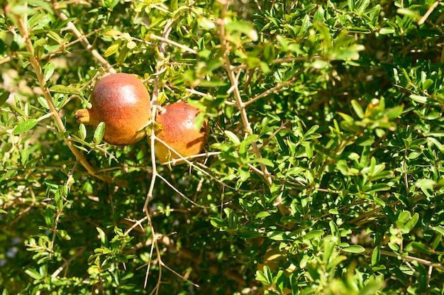 Dojrzałe czerwone granaty rosną na gałęzi drzewa w ogrodzie