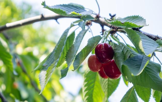 Dojrzałe czerwone i czereśniowe jagody zwisające z gałęzi drzewa przed zbiorami wczesnym latem. drzewo o pysznych i soczystych ciemnoczerwonych owocach czeremchy zwisające z gałęzi.