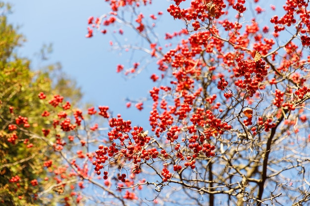 Dojrzałe czerwone jagody głogu na gałęzi jesienią na tle błękitnego nieba