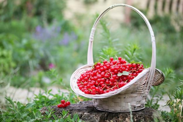 Dojrzałe czerwone porzeczki na koszu w ogrodzie