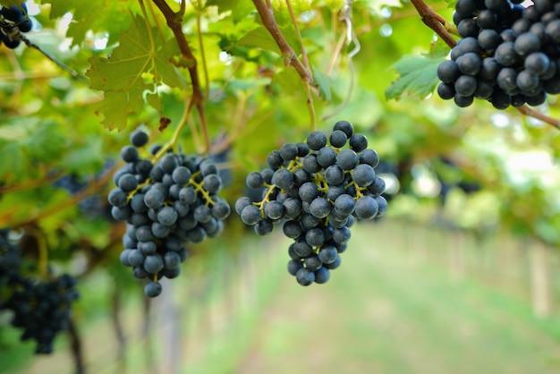 Dojrzałe czerwone winogrona gotowe do zbioru w południowych włoszech
