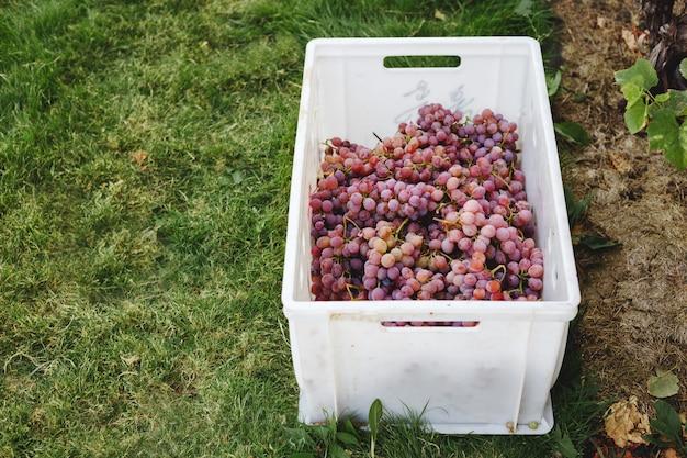 Dojrzałe czerwone winogrona. różowe kiście w pudełku po jesiennych zbiorach gotowe do produkcji wina lub do sprzedaży.
